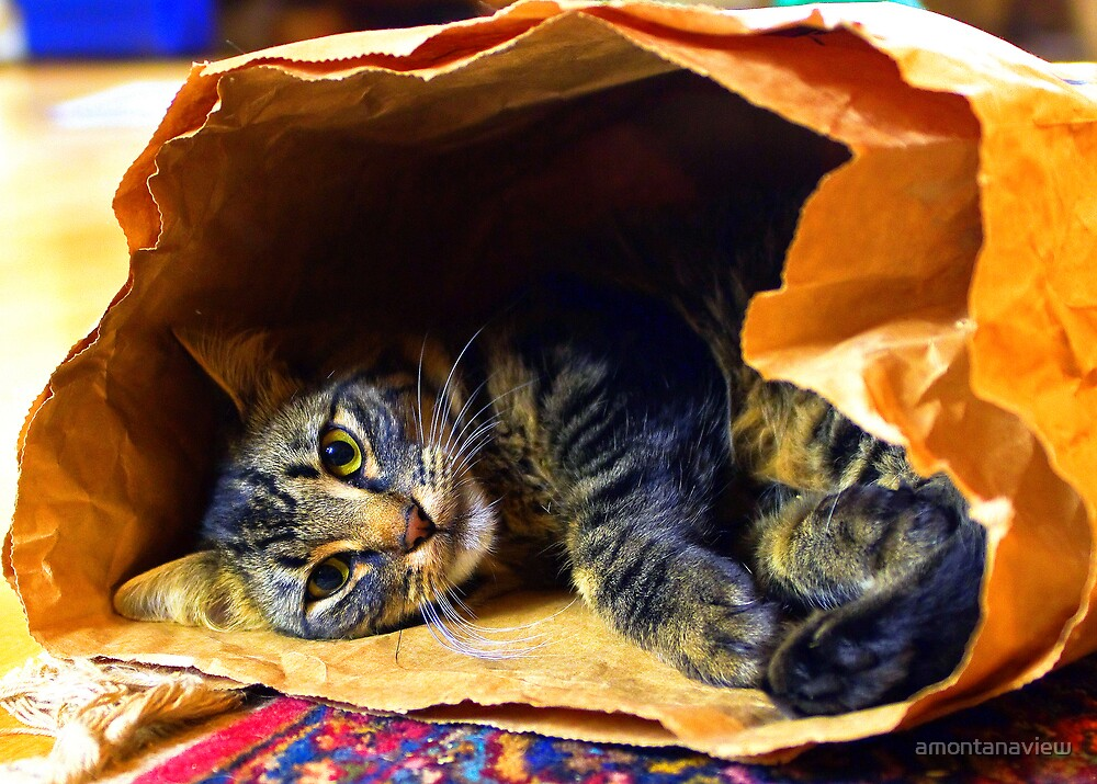 Cat in the bag, Timmy at play by amontanaview
