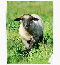 Baby Ewe Poster
