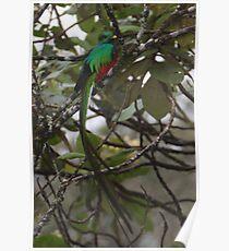 Resplendent Quetzal  Poster
