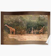 Giraffes ~ Carte Postale Poster
