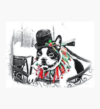 Boston Terrier Christmas Photographic Print