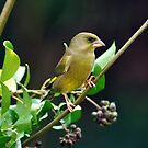 GREENFINCH by Russell Couch
