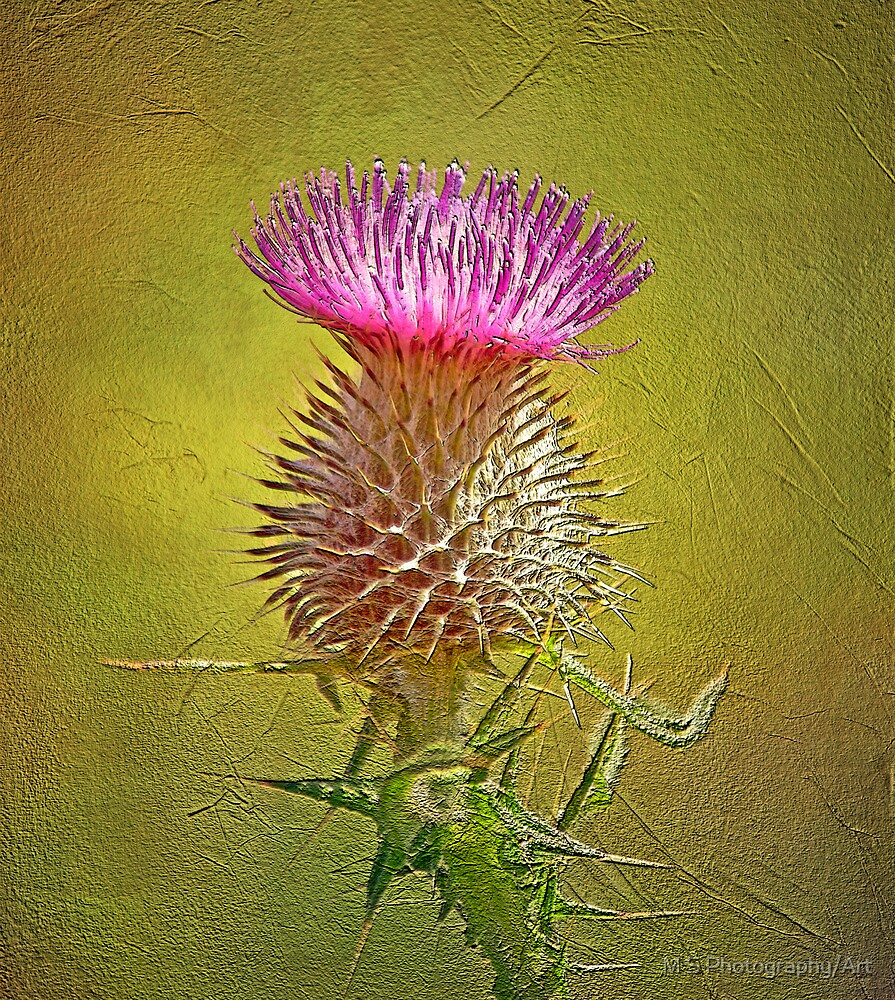 Spear thistle on gold by M.S. Photography/Art