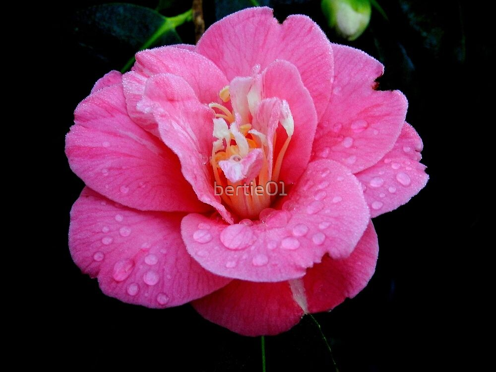 Dew drops on a Rhododendron by bertie01