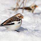 Taste /  Snow Bunting by Gary Fairhead