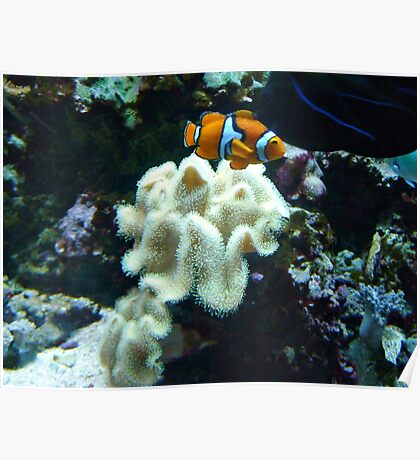 Clown Fish Among the Coral Poster