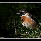 Common Stonechat  by RAY AGIUS