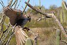 Prairie Falcon (Captive) ~ Landing by Kimberly Chadwick