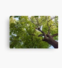Bottom view of a crown of a huge green tree Canvas Print
