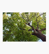 Bottom view of a crown of a huge green tree Photographic Print