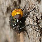 Snail parasitic blowfly - Amenia sp. by Andrew Trevor-Jones