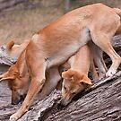 Dingo`s at play by doug hunwick