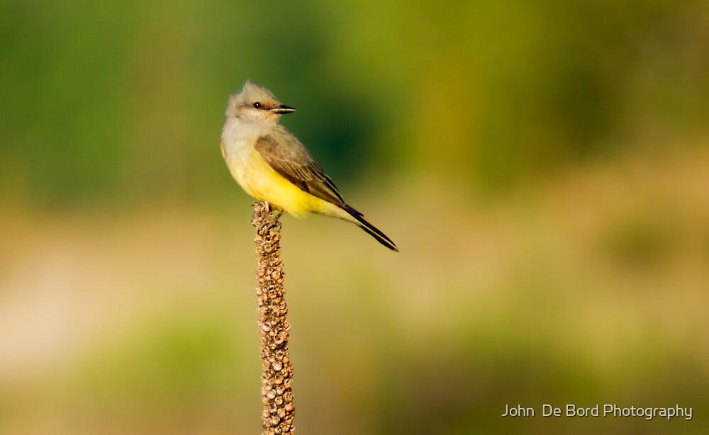 Western Kingbird by John  De Bord Photography