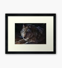 Colors of a Wolf Framed Print