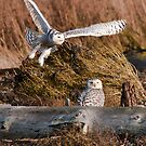 Snowy Owls by Tracy Riddell