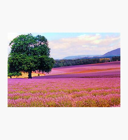 A Field of Lavender Photographic Print