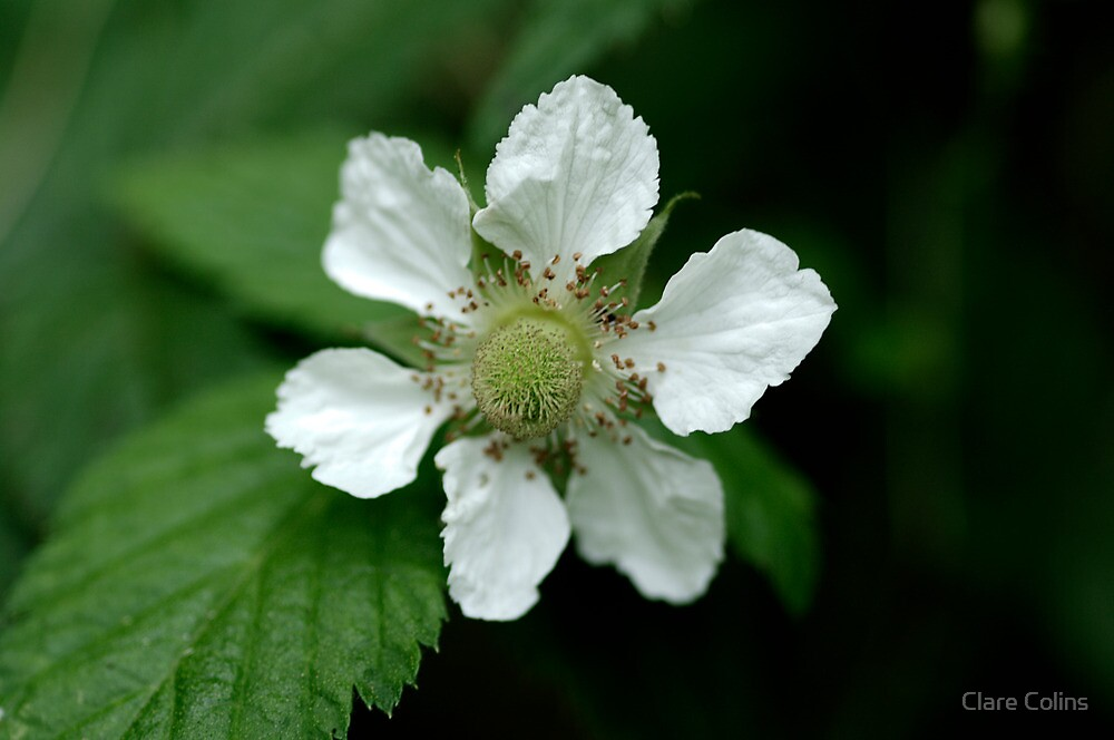 wild raspberry by Clare Colins