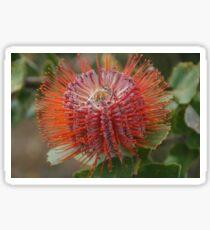 Banksia Coccinea Sticker