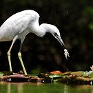 Little Blue Heron - White Morph With Tadpole/Frog by Kathy Baccari