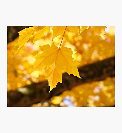 Yellow Autumn Leaf art prints Fall Leaves Photographic Print