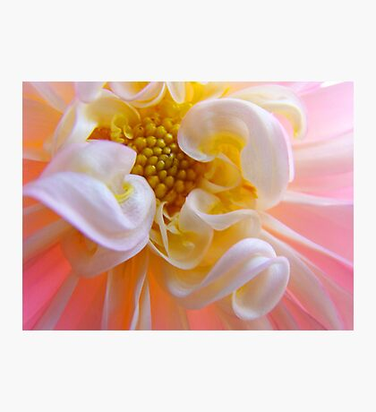 Dahlia Floral art prints Pink White Dahlias Photographic Print