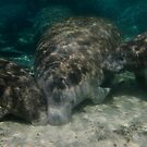 Maternal Manatee by naturalnomad