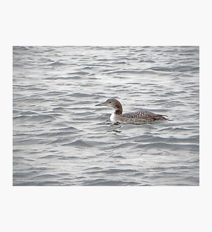 A Loon of Wisconsin Photographic Print