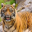 Sumatran Tiger by Daniel Attema