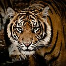 Sumatran Tiger XIII by Tom Newman