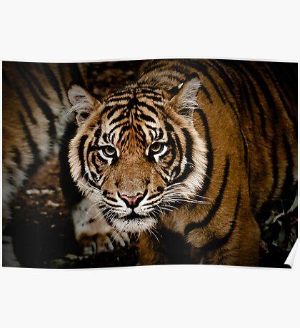 Sumatran Tiger XIII Poster