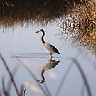 Great Blue Heron by Lynn Starner