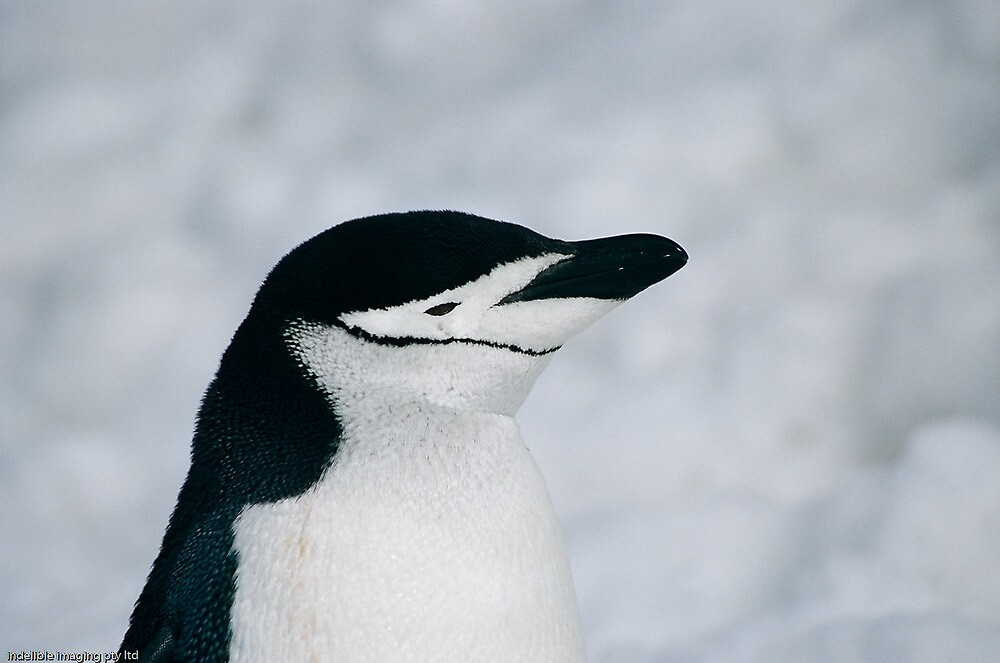 Chinstrap Penguin by michaelpartis