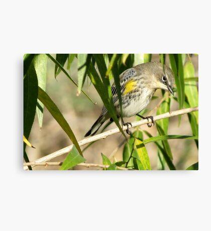 Yellow-rumped Warbler ~ Male Audubon's Canvas Print