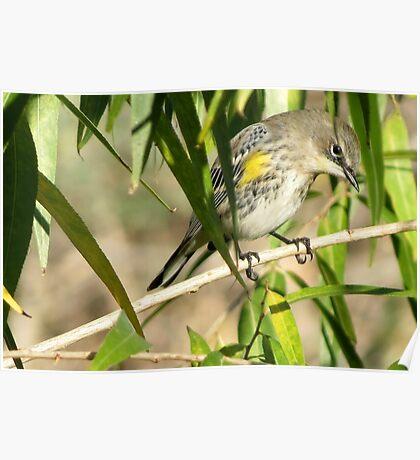 Yellow-rumped Warbler ~ Male Audubon's Poster