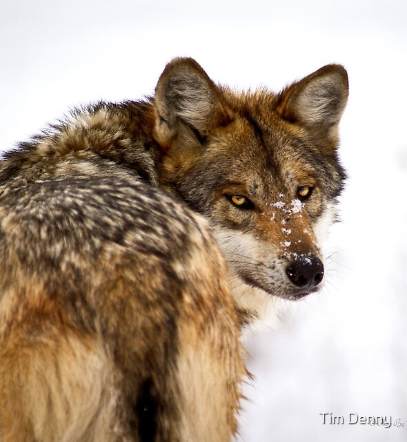 Mexican Gray Wolf ( 2 of 3 ) by Tim Denny