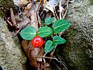Partridge Berry Berry - Mitchella repens by MotherNature