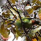 Emerald Toucanet by naturalnomad