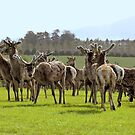 So Curious - Deer - Southland by AndreaEL