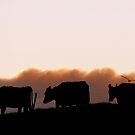 Sunrise Cows - Dairy Southland by AndreaEL