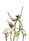 Orchids of Australia 4 Native orchids of Western Australia by Leonie Mac Lean