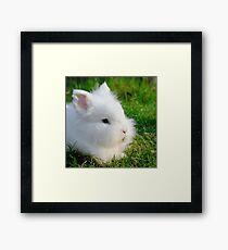Angora Rabbit Framed Print