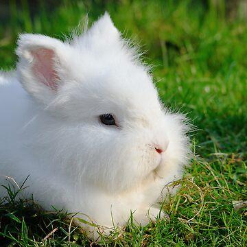 Angora Rabbit by stevesimages1