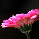 Pink explosion by Peter Dickinson