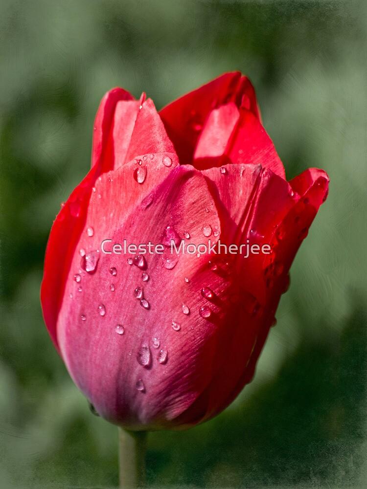 First tulip of the season by Celeste Mookherjee