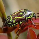Fiddler Beetle ( Eupoecila australasiae) by Gabrielle  Lees