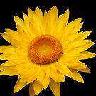 Yellow Flower by Alex Colcheedas