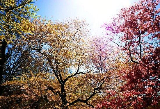The Grandest of Dreams - Cherry Blosssoms - Brooklyn Botanic Garden by Vivienne Gucwa