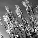 Winter sun through the reeds by Peter Dickinson