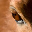 BROWN HORSE by mc27