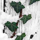Snow And Ivy by Jennifer Hulbert-Hortman